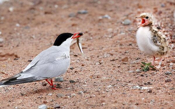 Common Tern from Duluth News Tribune