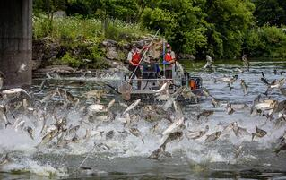 Jumping Carp in Kentucky courtesy of the U.S. Fish and Wildlife Service
