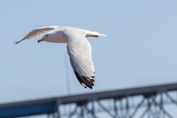 Gull at Interstate Island
